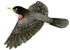 Illustration Zugvögel