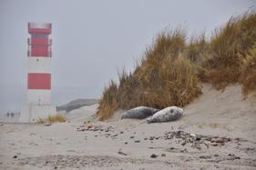 Helgoland Leuchtturm Kegelrobben