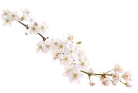 Bach Blüten Nr. 6 Cherry Plum Kirschpflaume