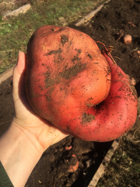 Giant Sweet Potato from the Windy Ridge Naturals gardens