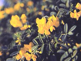 Flores ferradura de roca en el Parque Natural en Denia, Alicante.
