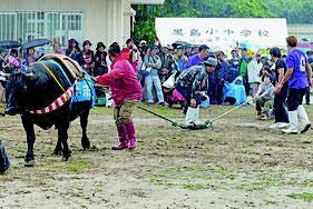 強い雨の中、牛との綱引きが行われた=25日午後、牛まつり広場