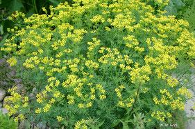 Gartenraute - Ruta graveolens