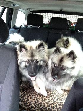 Hundebaby Wolfsspitz von der Roemerroute