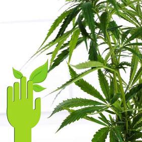 cannabis sorte einfach