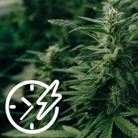 Cannabis sorte schnell