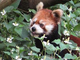6/14に9歳のお誕生日をむかえた「あずき」。ドクダミ花に埋もれてますが(笑)イケメンパンダをめざしている「ずん」のかーちゃんです。