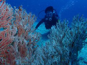 石垣島でのんびりダイビング「オオイソバナとダイバー」