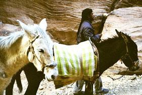 Beduinen bieten Esel als Reittiere an