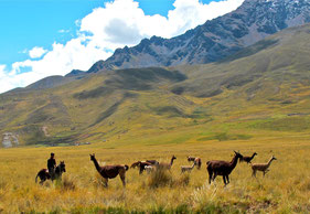 eine Lama-Herde wird umgebettet....