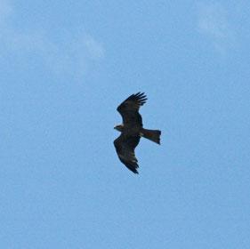 Milan noir, association, tarn, oiseaux