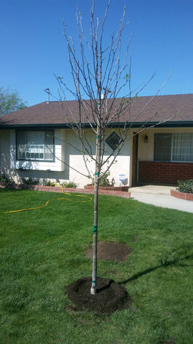 A flowering pear tree we planted