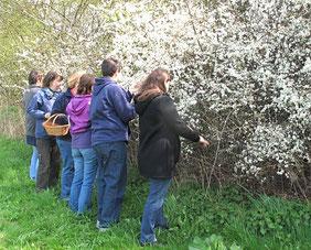 Schlehenblüten, www.kraeuter-entdecken.de