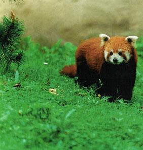 Roter Panda - Zoo Leipzig