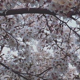 2年前、 杉並の公園で見上げた桜