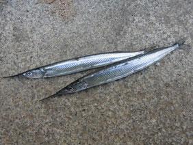 サヨリの釣り場 長門市