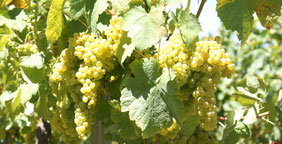 Weine aus Portugal, weißwein, Alentejo Regionalwein, Douro DOP, Vinho Verde DOP, Setúbal DOP