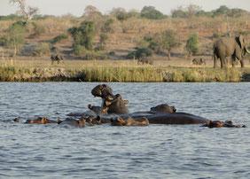 Hippos und Elefanten