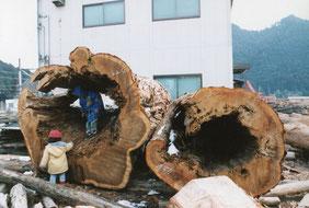 大黒柱になる前の木