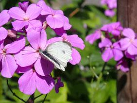 Die Nachtviole ist übrigens auch für zahlreiche Schmetterlinge attraktiv.