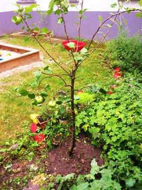 Jetzt haben die Caselerknirpse auch einen Apfelbaum, für genau 8 Caselerknirpse :) Danke, für das liebe Geschenk!