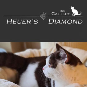 BKH Cattery Heuer's Diamond