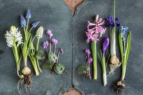 Zwiebelpflanzen im Frühling