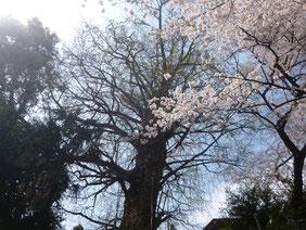 イチョウと桜。王子神社より。