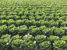cultures maraîcheres : une irrigation des légumes bien gérée avec les services d'Agralis