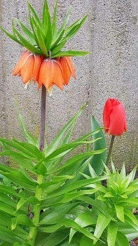 Blühende dunkelorange Kaiserkrone neben einer roten Tulpe von K.D. Michaelis