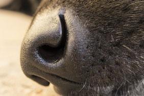 La truffe d'un chien organe olfactif trés important pour le chien par coach canin 16 educateur canin charente