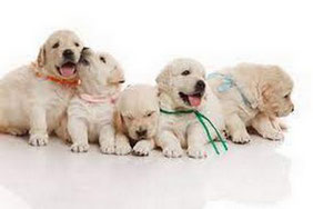 5 chiots golden retriever avec des colliers de couleur en présentation à la vente par coach canin 16 educateur canin à domicile en charente