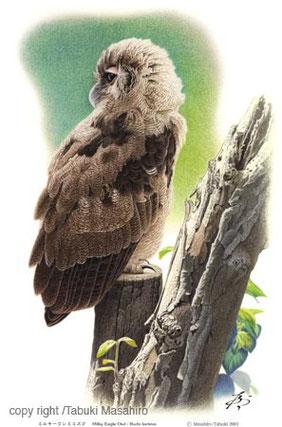 ミルキーワシミミズク フクロウ類の野鳥 アフリカの野鳥