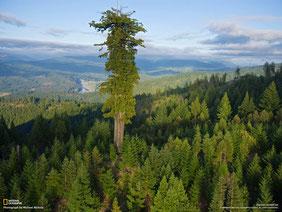 Höchster Baum der Erde - 115,5 m