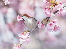 ニュウナイスズメの花摘み 中島泰樹