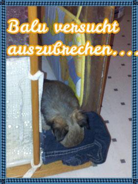 Seit ein paar Tagen versucht Balu immer wieder aufs Neue auszubrechen. Er ist ein kleiner frecher Schlingel...