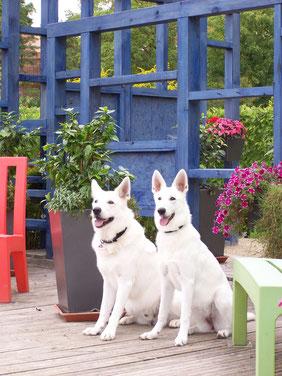 Stockhaar Weisse Schäferhunde Dusty Sir und Gracie Elayne