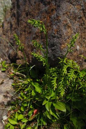 ホソバノキソチドリ (細葉の木曾千鳥) ラン科