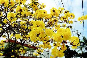 初夏を思わせる陽気の中、満開したイペー。黄色い花が青空に映えた=5日午後、石垣市平得