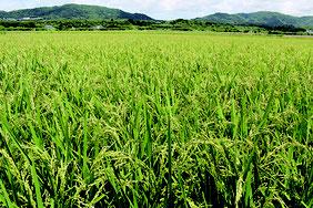 登熟期に入り、たわわに実った稲。まもなく収穫が始まる=20日午後、石垣市新川の水田