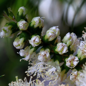 Melaleuca alternifolia  by mariluz picado garrido via Flickr