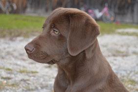 Maya labrador braun ,welpe labrador,tipps labrador