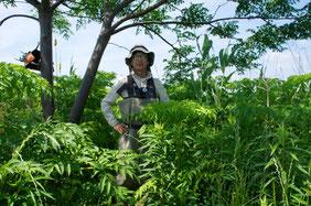 湿地の中のオアシス/センダンの木陰と背丈以上に伸びる芦やシシウドなどの草