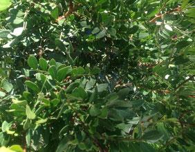 Blätter einer Pistazie / Mastixstrauch, Pistacia lentiscus