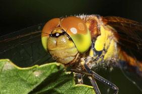 Portrait eines Jungtieres der Gemeinen Heidelibelle.