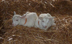 deux chevreaux qui se reposent sur une botte de paille de la ferme de La Pérotonnerie à Rom