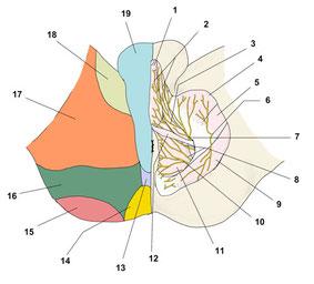 陰部神経痛の痛み神経分布図