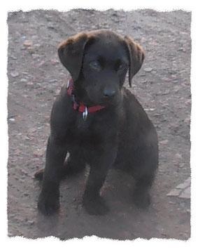 Labrador chocolat à l'école pour chiots à Dax
