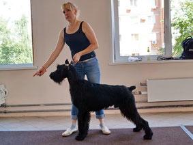 Хендлинг (подготовка собак к выставкам)