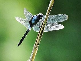 ・2017年7月25日 理窓公園  ・オオシオカラトンボは、シオカラトンボより、やや大きく、翅の付け根が黒褐色。